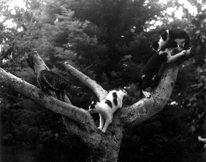"EH8554P nd. Cats in a tree. Finca Vigia, San Francisco de Paula, Cuba. Copyright unknown. Please credit: ""Copyright unknown in the Ernest Hemingway Collection at the John F. Kennedy Presidential Library and Museum, Boston."""