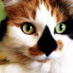 Может ли кот быть трёхцветным?